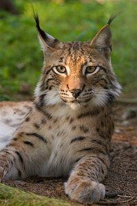 399px-Lynx_lynx_poing